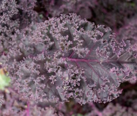 boerenkool paars